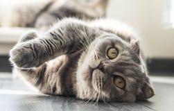 Lovable Scottish fold cat Stock Photos
