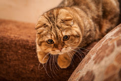 Lovable Scottish fold cat Royalty Free Stock Photos