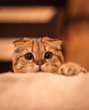 Lovable Scottish fold cat. Lovable and funny red head Scottish fold cat playing Stock Photos
