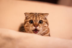 Lovable Scottish fold cat. Lovable and funny red head Scottish fold cat playing Stock Image