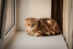 Lovable Scottish fold cat / kitten playing Royalty Free Stock Images