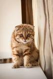 Lovable Scottish fold cat / kitten playing Royalty Free Stock Photography