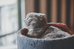 Lovable scottish fold cat laying Royalty Free Stock Photography
