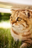 Lovable Scottish fold cat in nature Stock Photos