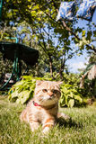 Lovable Scottish fold cat in nature Royalty Free Stock Image