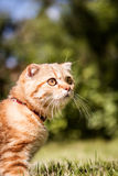 Lovable Scottish fold cat in nature green grass Royalty Free Stock Photos