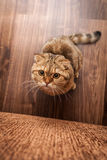 Lovable Scottish fold cat playing Stock Photography