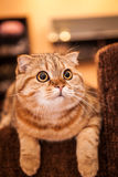 Lovable Scottish fold cat playing Stock Photo