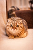 Lovable Scottish fold cat playing Royalty Free Stock Photography