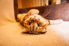 Lovable Scottish fold cat playing. Lovable red head Scottish fold cat playing Stock Photography