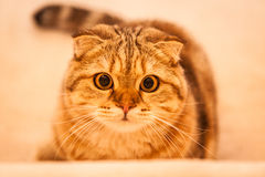 Lovable Scottish fold cat playing Royalty Free Stock Photos