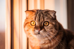 Lovable Scottish fold cat playing Stock Image