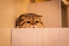Lovable Scottish fold cat playing Royalty Free Stock Image