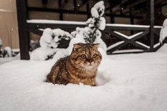 Lovable Scottish fold cat playing in snow Royalty Free Stock Images