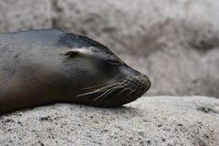 Lovable Sea Lion With Cute Little Ears. Lovable Sea Lion with Adorable Little Ears Stock Image