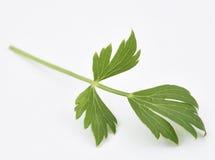 Lovage φρέσκα φύλλα Στοκ φωτογραφία με δικαίωμα ελεύθερης χρήσης