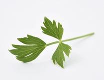 Lovage φρέσκα φύλλα Στοκ Φωτογραφίες