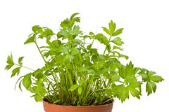 Lovage Royalty Free Stock Photos