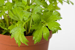 Lovage Royalty Free Stock Images