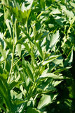 Lovage bush Stock Images