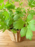Lovage in flowerpot Stock Image