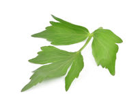 Lovage Royalty Free Stock Photography