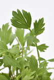 Lovage Fresh Leaves Stock Photography