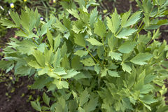 Lovage in the garden green leaves, Levisticum officinale Stock Photos