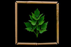 Lovage. Leaf bamboo framed shot on black background Stock Photography