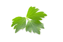 Lovage leaf. Stock Image