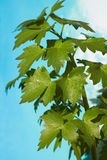 Lovage leaves Royalty Free Stock Photography