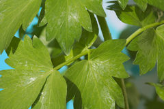 Lovage leaves - Levisticum officinale Stock Images