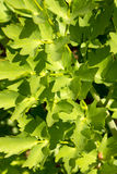 Lovage Stock Images