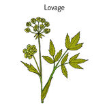 Lovage levisticum officinale , culinary and medicinal herb Royalty Free Stock Photography