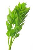Lovage (Levisticum officinale) Stock Photography