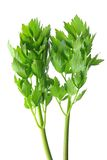 Lovage (Levisticum officinale) Royalty Free Stock Photo