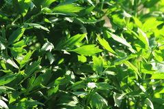 Lovage plant background Stock Photo