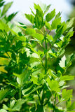 Lovage plant bunch Stock Photos