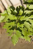 Lovage plant Stock Photography