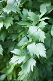 Lovage plant (Levisticum officinale) Royalty Free Stock Photos