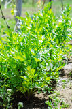 Lovage plants in the sun stock photography