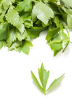 Lovage soup plant Royalty Free Stock Photo