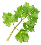 Lovage twig Stock Image