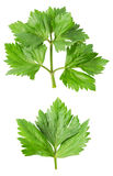 Lovage twig isolated Stock Photos