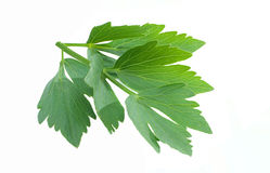 Lovage  Royalty Free Stock Image