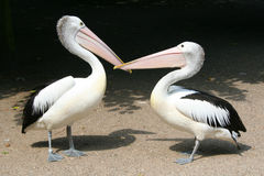 Love. Two pelicans like each other Stock Photography