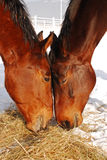 Is this love. Two horses sharing lunch on a snowy paddock Stock Photos
