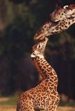 Love. A giraffe and offspring meet head to head in a sign of affection