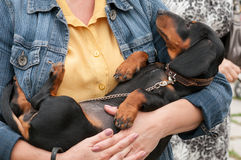 Love. Dachshund is on the hands of the mistress Stock Images