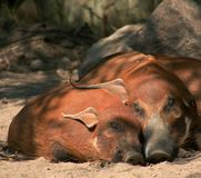 Love. Two red river hogs snuggled together Royalty Free Stock Images